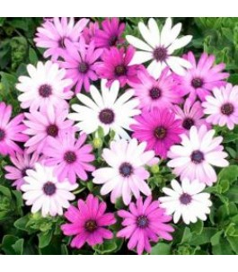 OSTEOSPERMUM, Osteospermum